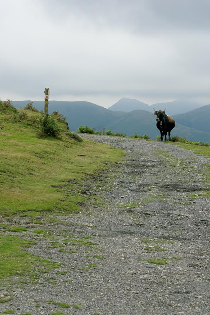 Une vache sur le chemin